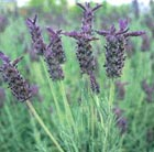 Lavandula 'Helmsdale (PBR)' (French lavender)