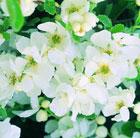 Exochorda x macrantha 'The Bride' (pearl bush)