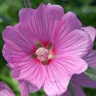 Lavatera x clementii 'Rosea' (tree mallow (syn. L. olbia 'Rosea'))