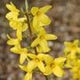 Forsythia x  intermedia 'Lynwood Variety' (forsythia)