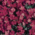 Aubretia Royal Red 12 Jumbo Ready Plants