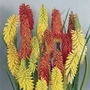 Red Hot Poker Flamenco 12 Jumbo Ready Plants