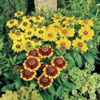 Rudbeckia Toto Mix 12 Jumbo Ready Plants