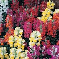Antirrhinum Karma 50 Plants + 20 FREE