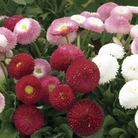 Bellis Belle  50 Plants + 20 FREE