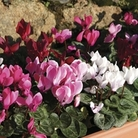 Mini Cyclamen Patio Collection 12 Jumbo Ready Plants