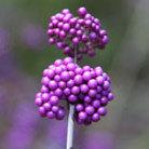 Callicarpa bodinieri var. giraldii 'Profusion' (beauty berry)