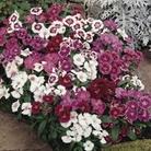 Dianthus Gem 50 Plants + 20 FREE