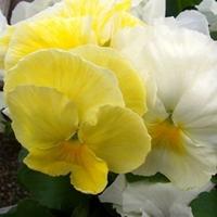 Pansy Mellow Yellow 50 Plants + 20 FREE