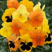 Pansy Zest 50 Plants + 20 FREE