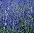 Perovskia 'Blue Spire' (Russian sage)
