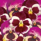 Pansy Strawberry Rose 50 Plants + 20 FREE