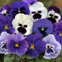 Pansy Oceana 50 Plants + 20 FREE
