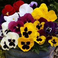 Pansy Galore 50 Plants + 20 FREE