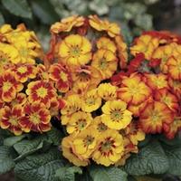 Polyanthus Fireglow 12 Jumbo Ready Plants