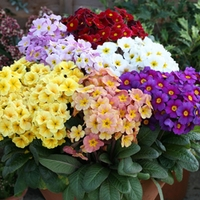 Polyanthus Primabella 50 Plants + 20 FREE
