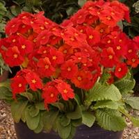 Polyanthus Red Ribbon 50 Plants + 20 FREE