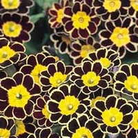 Polyanthus Gold Lace (Large Flowers) 50 Plants + 20 FREE