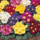 Primrose Valiant 50 Plants + 20 FREE