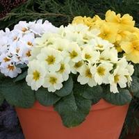 Primrose Sunshine 50 Plants + 20 FREE