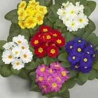 Primrose Harlequin 50 Plants + 20 FREE