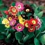 Primula Auricula Rainbow 50 Plants + 20 FREE