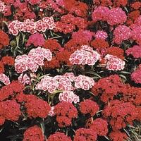 Sweet William Rouge Blush 50 Plants + 20 FREE
