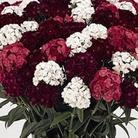 Sweet William Fragrant Fever 50 Plants + 20 FREE