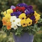 Viola Itsy Bitsy 50 Plants + 20 FREE