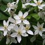 Choisya ternata (Mexican orange blossom)
