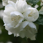 Philadelphus 'Virginal' (mock orange)