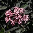 Sambucus nigra f. porphyrophylla 'Gerda' (PBR) (black elder (syn. Black Beauty))