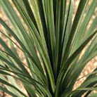 Cordyline australis (cabbage tree)