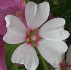 Lavatera x clementii 'Barnsley' (mallow)