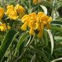 Phlomis fruticosa (Jerusalem sage)