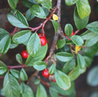 Cotoneaster dammeri (cotoneaster)