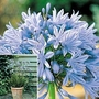 Agapanthus Headbourne Hybrids 12 bareroot plants