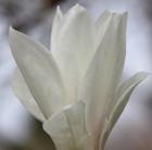Magnolia x  soulangeana 'Alba' (magnolia)