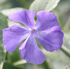 Vinca major 'Variegata' (greater periwinkle)