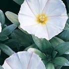 Convolvulus cneorum (convolvulus)