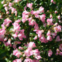 Escallonia 'Apple Blossom' (escallonia)