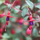 Fuchsia 'Riccartonii' (fuchsia)