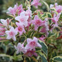 weigela