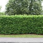 Prunus laurocerasus 'Rotundifolia' (laurel)