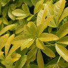Choisya ternata Sundance ('Lich') (PBR) (Mexican orange blossom)