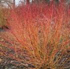 Cornus sanguinea 'Midwinter Fire' (dogwood)