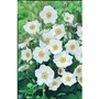 Japanese Anemone Honorine Jobert x 5 plants