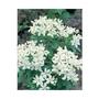 Choisya Ternata x 5 young plants