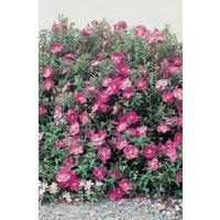 Cistus Purpureus x 5 plants