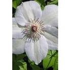 Clematis Montana Grandiflora x 5 plants
